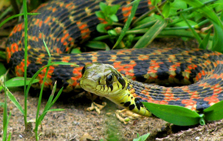 日本に生息する爬虫類、両生類<ヘビ編>